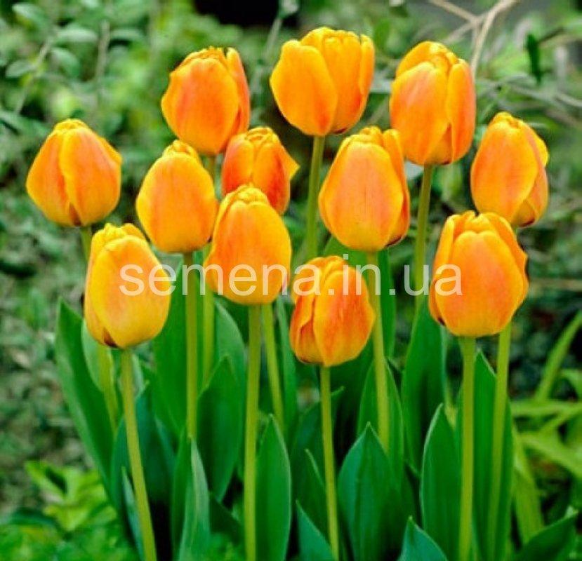 Цветы оптом харьков тюльпаны 8