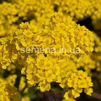 Алиссум Горное золото желтый 5 г