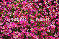 Камнеломка Пурпурный ковер пурпурный 0,01 г