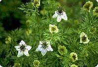 Чернушка посевная  Nigella sativa (Калинджи) (семена) 100г