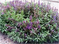 Шалфей лекарственный Salvia officinalis (семена) 100г