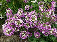 Лобулярия (Алиссум) Розовый день розовый 5 г