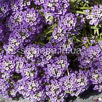 Лобулярия (Алиссум) Фиолетовый король фиолетовый 5 г