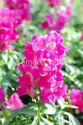 Львиный зев (Антирринум) Снеппи F1 розовый 100 шт