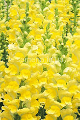 Львиный зев (Антирринум) Опус F1 (III/IV група желтый 100 шт