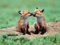 Очаровательные лисята от лисицы рыжей