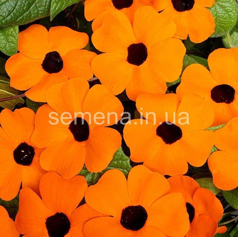 Тунбергия Сюзанна оранжевий з вічком 100 шт