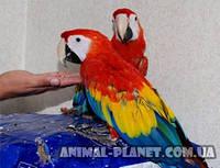 Продаём ручных птенцов выкормышей ара макао