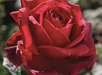 """Саженцы роз """"Оклахома"""", фото 1"""