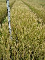 Пшеница озимая Мирлена (элита)   НОВИНКА!