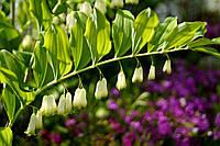 Купена (растение)