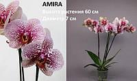 Подросток орхидеи Амира