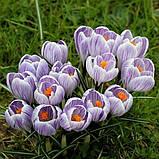 Крокус крупноцветковый Pickwick, 5 луковиц, фото 2
