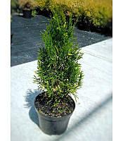 Thuja occidentalis 'Spotty Smaragd' Туя західна 'Спотті Смарагд',C2-C3,20-40см