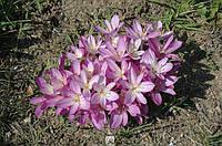 Cilicicum purpureum колхикум