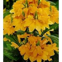 Кроссандра тропик желтая семена (2шт)