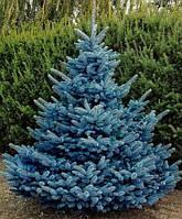 Голубая ель(5шт)(семена)
