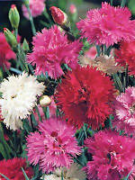 Гвоздика перистая махровая смесь(семена)