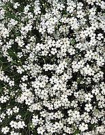 Гипсофила белая  (семена)