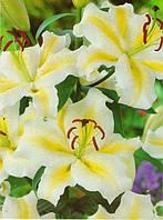 Лилия Yellow Bride О-Т гибриды