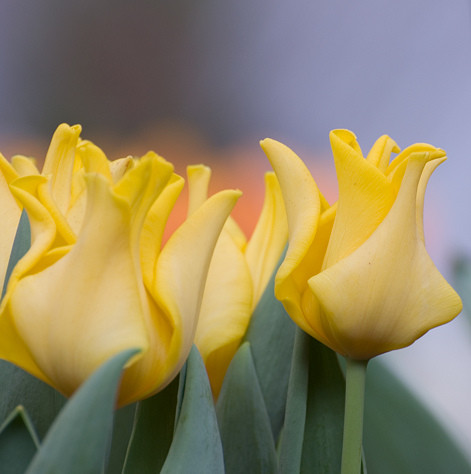 Тюльпан Yellow Crown 3шт