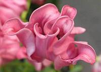 Тюльпан Picture
