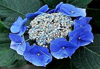 Гортензия Bluebird