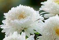 """Астра """"Белый шар""""  (семена)"""