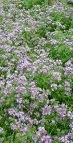 Семена Фацелии медоносной 500 г