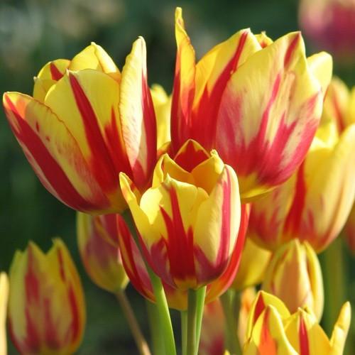 Тюльпан Мультифлора Colour Spectacle  10/11 3 шт