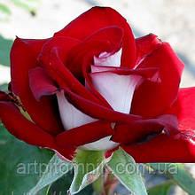 Роза чайно - гибридная Альянс