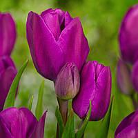 Тюльпан Мультифлора Purple Bouquet  10/11 3 шт