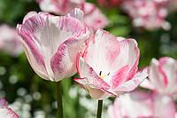 Тюльпан Rosy Bouquet