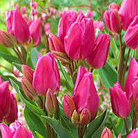 Тюльпан Happy Family