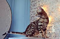 Мальчик. Бенгальский котёнок питомника Royal Cats, фото 1