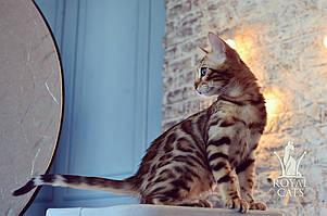 Мальчик. Бенгальский котёнок питомника Royal Cats