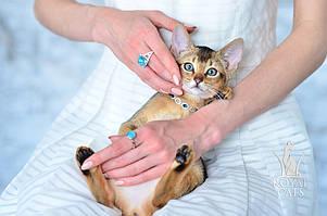 Девочка 3. Кошечка Чаузи Ф5 питомника Royal Cats