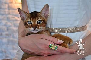 Мальчик 3. Котёнок Чаузи Ф5 питомника Royal Cats