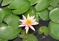 Лилия на пруду. Водяная лилия. Фото высокого разрешения.