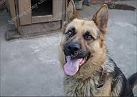 Собака Немецкая овчарка красавчик фотомодель. Фотография высокого разрешения.