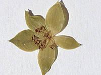Сухоцветы для дизайна ногтей RENEE IF08-09
