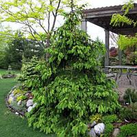 Ель обыкновенная Акрокона (Picea abies Acrocona). Ель плакучая. Саженцы ели купить.