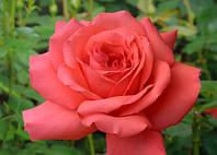 ТРОЯНДА Фройде Freude® (Florists Rose) контейнер