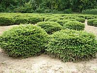 Ель обыкновенная Нидиформис (Picea abies Nidiformis) d40-50 см.