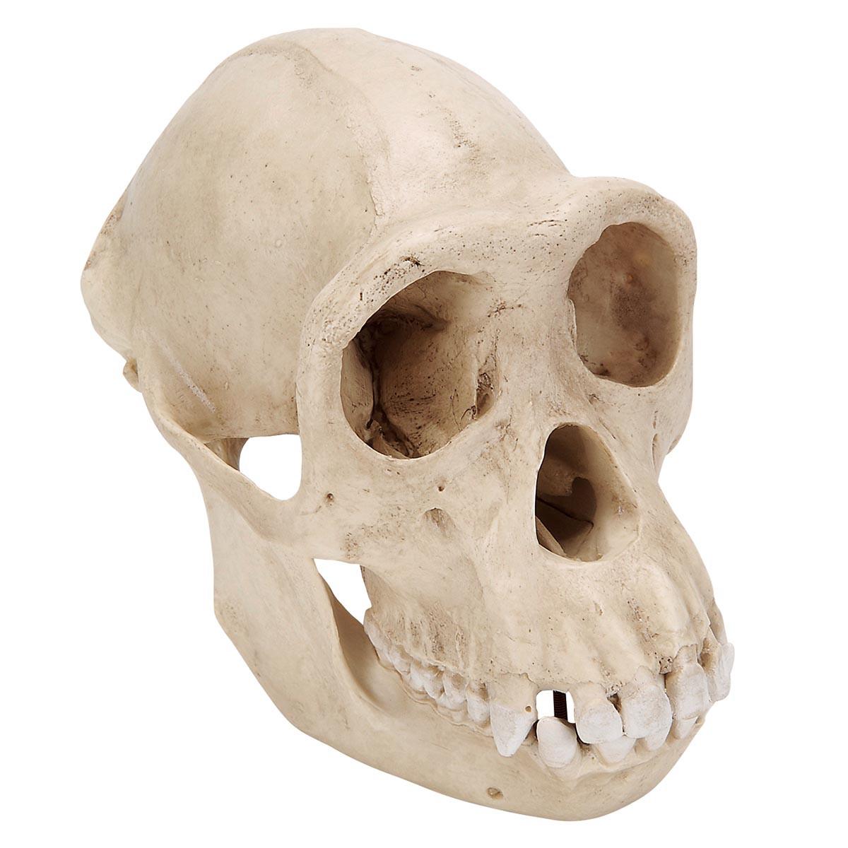 Модель черепа самки шимпанзе (Pantroglodytes)