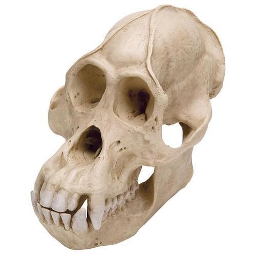 Модель черепа самца орангутана (Pongopygmaeus)