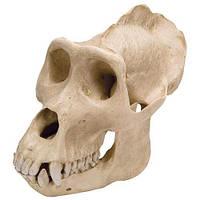 Модель черепа самца гориллы (Gorillagorilla)