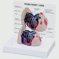 Модель сердца и легких кошек