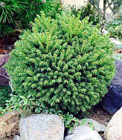 Picea abies 'Oldenburg' Ялина звичайна,C7.5-конт. 7.5л