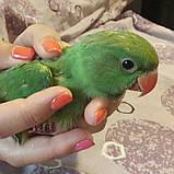 Ожереловый попугай, 2020года, фото 2